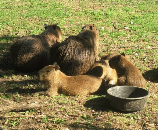 High Park Zoo Capybara.jpg